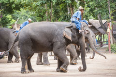 Mahout show how to train elephant in forestry industry. Stock Photo