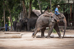 Mahout show how to train elephant in forestry industry. royalty free stock photography
