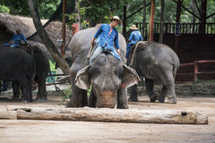Mahout show how to train elephant in forestry industry. Stock Photos