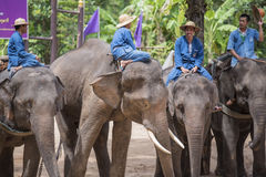 Mahout show how to train elephant in forestry industry. Royalty Free Stock Image