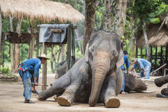 Mahout show torists how elephant sleep during the night. Stock Photography