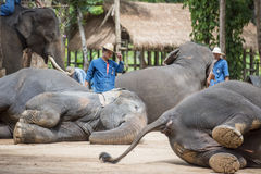 Mahout show torists how elephant sleep during the night. royalty free stock photography