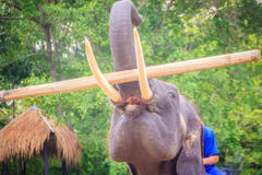 A mahout sitting on an elephant carrying log. Stock Images