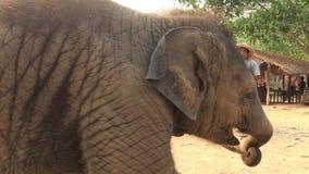 Mahout som 4K matar till den asiatiska elefanten och att behandla som ett barn i läger av den tropiska skogen arkivfilmer