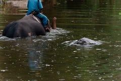 Mahout som sitter på baksidan av en elefant som gör duschelefanten royaltyfria foton