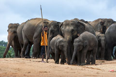 A mahout stands with a herd of elephants at the Pinnawala Elephant Orphanage (Pinnawela) in central Sri Lanka. Stock Photography