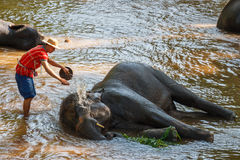 Mahout take a bath elephant Stock Image