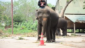 Mahout Thai  people riding and teach elephat stock video