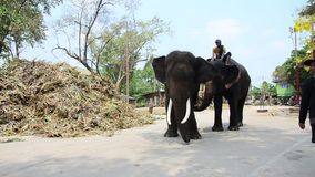 Mahout Thai  people riding and teach elephat stock video footage