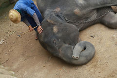 A mahout treat illness elephant, Stock Images