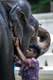 A mahout washing his elephant within the Temple of the Sacred Tooth Relic prior to the Esala Perahera in Kandy in Sri Lanka. The Esala Perahera is held to Stock Photos
