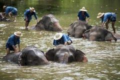 Mahouts badar och gör ren elefanterna i floden Fotografering för Bildbyråer