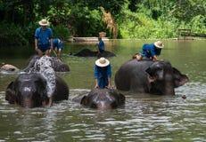 Mahouts badar och gör ren elefanterna i floden Arkivbilder