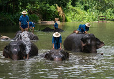 Mahouts bath and clean the elephants in the river Stock Images