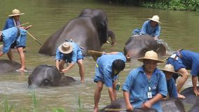 Mahouts bath their elephants stock footage