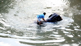 Mahouts bespatte water op olifanten stock videobeelden