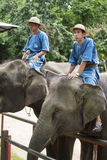 Mahouts control the elephants wait for tourism feed banana. Royalty Free Stock Photos