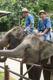 Mahouts control the elephants wait for tourism feed banana. Royalty Free Stock Photography