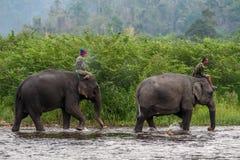 Mahouts tailandesi che guidano gli elefanti nel fiume Fotografia Stock