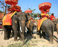 Mahouts with Thai warrior dress sit on elephants Stock Photo
