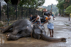 Mahouts wash a ceremonial elephant prior to the Esala Perahera in Kandy in Sri Lanka. The Esala Perahera is held to honour the Sacred Tooth Relic of Lord Royalty Free Stock Image