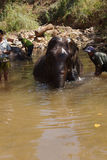 Mahouts wash their elephant Royalty Free Stock Photo
