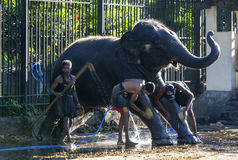 Mahouts wash their elephant at the Temple of the Sacred Tooth Relic prior to the Esala Perahera in Kandy in Sri Lanka. Stock Photos