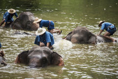 Mahoutsbad und säubern die Elefanten im Fluss Stockfoto