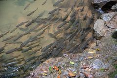 Mahseer barb fish in shallow water from the waterfall with rocks stock photography