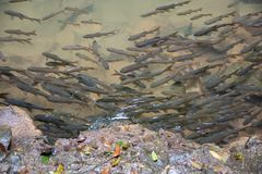Mahseer barb fish in shallow water from the waterfall with rocks around stock image