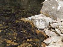 Mahseer barb fish Stock Photos