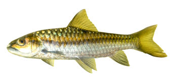 Mahseer Barb or Neolissochilus stracheyi in Cyprinidae isolated Royalty Free Stock Images