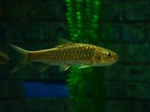 Mahseer dourado Foto de Stock