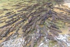 Mahseer Widerhakenfische am Nationalpark des Pliew Wasserfalls Lizenzfreies Stockfoto