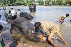 Mahut洗涤elefant的他的 图库摄影