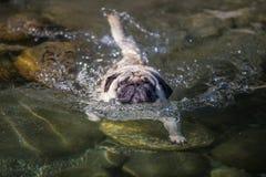 Mai 2015 - Elvis genießt das erste Schwimmen der Sommersaison Lizenzfreie Stockfotos