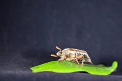 Mai-Käfer auf einem grünen Blatt Stockfotografie