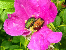 Mai-Käfer auf Hagebutten Lizenzfreies Stockfoto