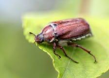 Mai-Käfer, der auf einem Blatt sitzt Stockfotografie