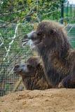 5. Mai 2013 - London-Zoo - lustiges Kamel am Zoo draußen Lizenzfreie Stockfotografie