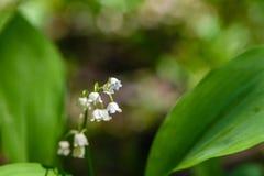 Mai-Maiglöckchen blühen mit den weißen Knospen in Form von Glocken Stockfotografie