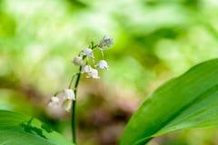 Mai-Maiglöckchen blühen mit den weißen Knospen in Form von Glocken Lizenzfreie Stockfotografie