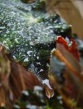 Mai soit les jupons pourpres de Heuchera, dans un jardin tropical après la pluie image libre de droits
