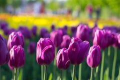 Mai-Tulpen in Moskau-Park Lizenzfreies Stockfoto