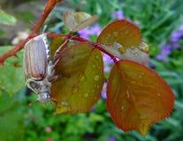 Mai-Wanze auf den Blättern einer Rose Stockbilder