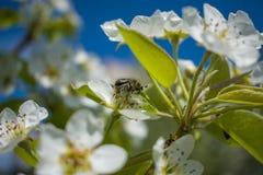 Mai-Wanze auf einem blühenden Baum lizenzfreies stockbild