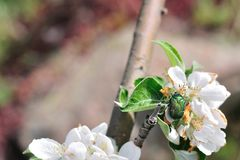 Mai-Wanze auf weiße Blumen Stockbild
