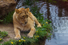 5 mai 2013 - zoo de Londres - belle lionne au zoo Photographie stock