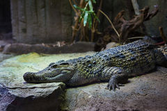 5 mai 2013 - zoo de Londres - crocodile au zoo Photos stock