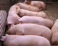 Maiale addormentato grasso e stanco nell'azienda agricola di maiale-allevamento Fotografie Stock